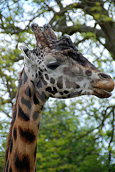 Giraffe Face 1 Royalty Free Stock Photography - Image: 19607317