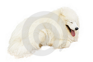 Samoyed Dog Stock Photos - Image: 19608223