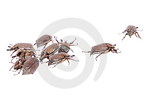Isolated May Bugs Stock Images - Image: 19611194