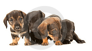 Dachshund Puppies Embracin Royalty Free Stock Image - Image: 19612176