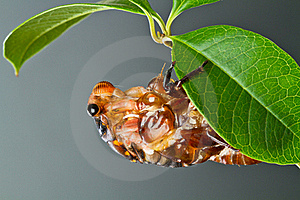 Cicada Eclosion Royalty Free Stock Photography - Image: 19612717