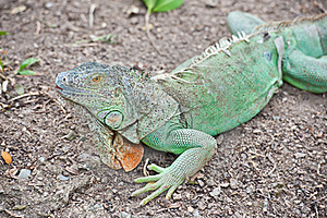 Green Iguana Stock Photo - Image: 19613120