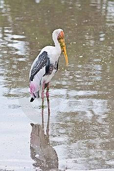 Uccello Bianco Nel Lago Immagini Stock - Immagine: 19613484