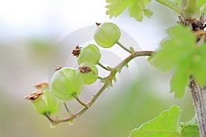Gooseberry Bush Stock Photos - Image: 19616703