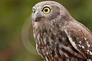 Barking Owl Stock Images - Image: 19620214