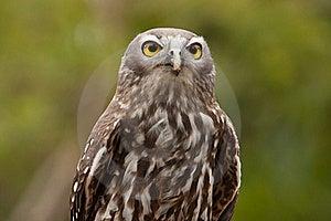 Barking Owl Royalty Free Stock Photos - Image: 19620658