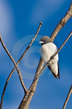 White-breasted Woodswallow Royalty Free Stock Photo - Image: 19623055