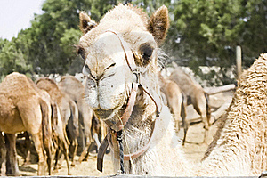 Camel Royalty Free Stock Photography - Image: 19626407