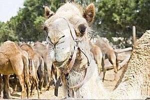 Camel Royalty Free Stock Photography - Image: 19626407