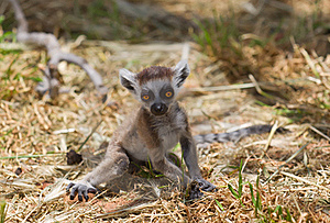 Lemur Baby Stock Photo - Image: 19628870