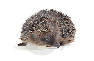 Young Hedgehog Royalty Free Stock Images - Image: 19630429