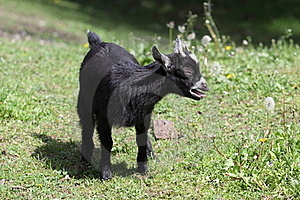 Black Lamb Stock Images - Image: 19631434