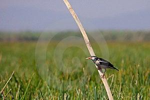 Asian Pied Starling (Sturnus Contra) Royalty Free Stock Photos - Image: 19632198