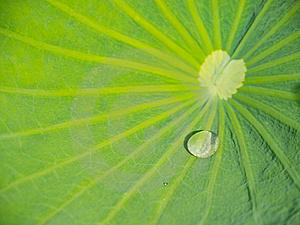 Green Lotus Leaf With Water Drop Royalty Free Stock Photo - Image: 19634065
