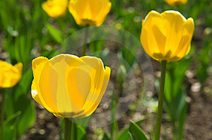 Tulips yellow Royalty Free Stock Image