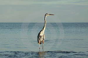 Hunting Heron Royalty Free Stock Images - Image: 19637999