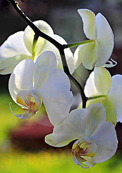 Branch Of An Orchid. Stock Photo - Image: 19643870