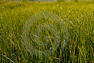 Morning Dewy Grass Royalty Free Stock Photography - Image: 19644047