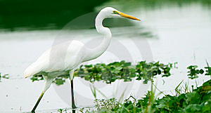 Great Egret Walking In Water Of An Asian Sanctuary Stock Photo - Image: 19644690