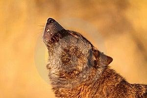 Gray Wolf Royalty Free Stock Photo - Image: 19646135