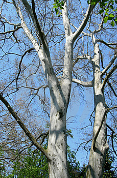 Plane Tree Branches Royalty Free Stock Photos - Image: 19646158