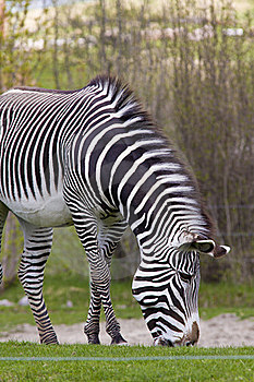 Grazing Zebra Stock Image - Image: 19646421