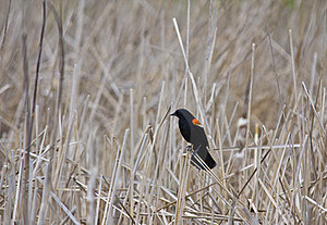 Red-winged Blackbird Royalty Free Stock Images - Image: 19646439