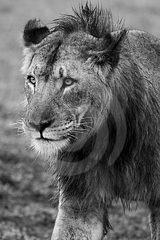 Young Male Lion Royalty Free Stock Photo - Image: 19653805