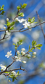 Spring Branches Of Cherry Tree Stock Image - Image: 19657021