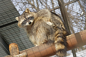 Racoon Royalty Free Stock Image - Image: 19657146