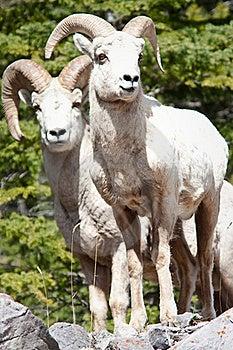 Bighorn Sheep Rams Stock Images - Image: 19657834