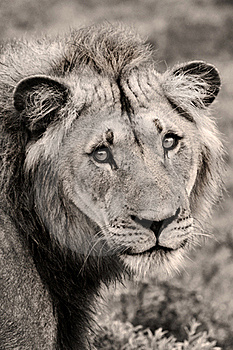 Lion Close-up Royalty Free Stock Photos - Image: 19661788