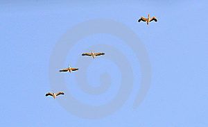 Pelicans Royalty Free Stock Photo - Image: 19664685