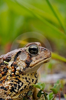 Bull Frog Royalty Free Stock Photo - Image: 19670025