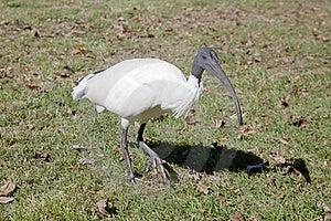 Close Up De Um Ibis Branco Australiano Fotografia de Stock - Imagem: 19672442