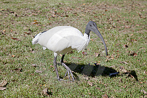 Closeup Of An Australian White Ibis Stock Photography - Image: 19672442
