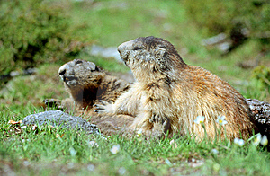 Marmots Playing Fight Stock Photography - Image: 19673172