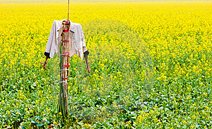 Scarecrow Stands Guard In Rape Field Royalty Free Stock Photos - Image: 19676308
