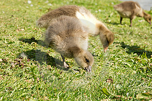 Baby Geese Eating Stock Photo - Image: 19682050