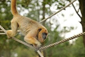 Howler Monkey Stock Photos - Image: 19682723