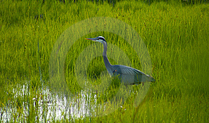 Heron Stalking In The Grass Royalty Free Stock Photo - Image: 19682755