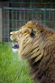 Male Lion Stock Images - Image: 19682954