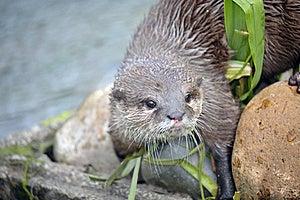 Beautiful Otter Stock Images - Image: 19683024