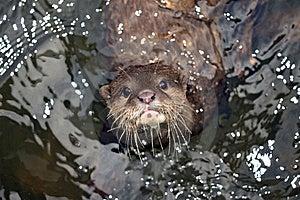 Beautiful Otter Stock Photos - Image: 19683033