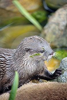 Beautiful Otter Royalty Free Stock Image - Image: 19683046