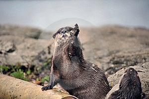 Beautiful Otter Royalty Free Stock Photos - Image: 19683058
