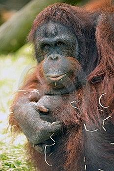 Captive Orangutang Royalty Free Stock Photos - Image: 19683088