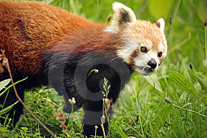 Beautiful Red Panda Stock Photos - Image: 19683113