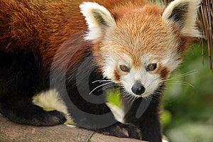 Beautiful Red Panda Stock Image - Image: 19683121