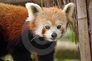 Beautiful Red Panda Royalty Free Stock Photography - Image: 19683127